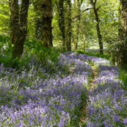 Colwell Wood Bluebells